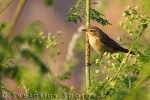 Common Chiffchaff/Phylloscopus collybita - Photographer: Светослав Спасов
